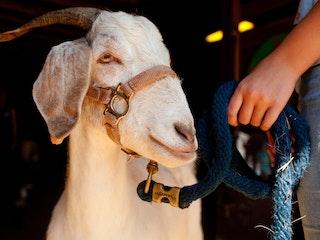 Goats at keystone camp for girls.jpg?ixlib=rails 2.1