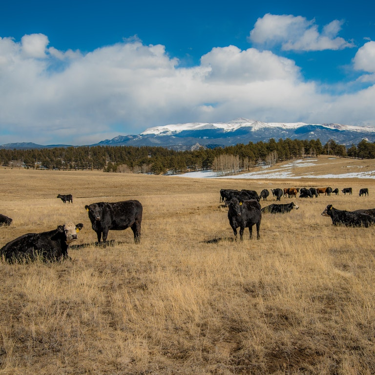 Calves at Witcher Ranch
