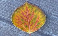Aspen trees and leaves 7.jpg?ixlib=rails 2.1