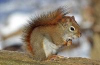 Red squirrel 570936 960 720.jpg?ixlib=rails 2.1